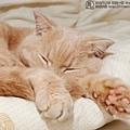 睡貓一枚 不供貓奴咬一口 20101114-OLYMPUS-E5