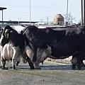 使用rBGH基因重組牛科生長荷爾蒙_cows-with-mastitis-stand-in-shit2.jpg