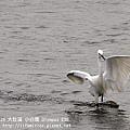 20100429-大肚溪-小白鷺-03.jpg