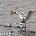 20100429-大肚溪-小白鷺-02.jpg
