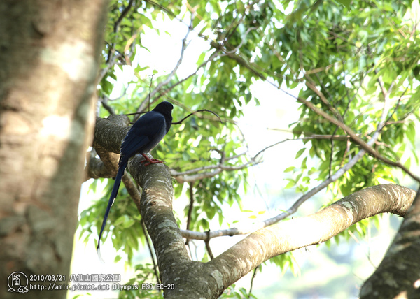 八仙山 台灣藍鵲