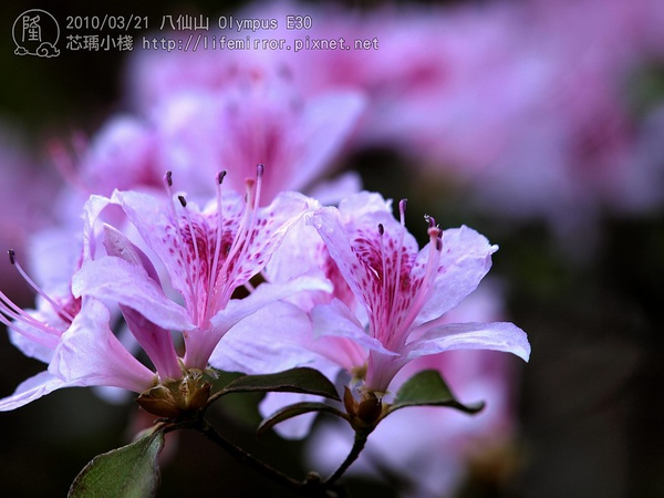 20100321-八仙山_杜鵑-3201345-L.jpg