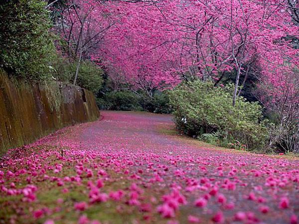 山櫻花海4