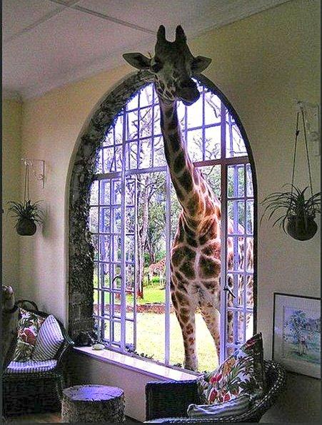 長頸鹿伸進窗戶
