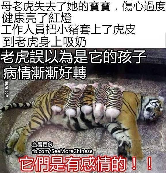 母老虎失去了寶寶