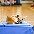 狗狗睡得超安穩