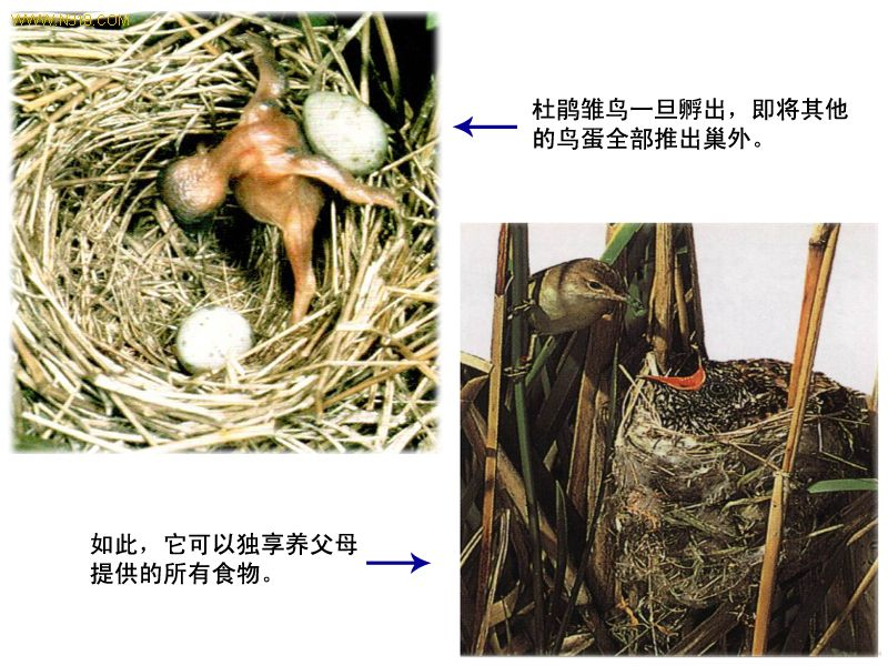 布榖鳥(杜鵑鳥).jpg