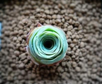 山地玫瑰 (8)