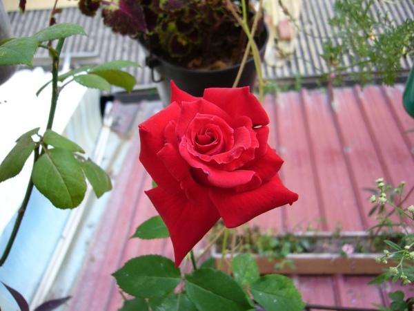 玫瑰薔薇水培方法 (4)(4)枝條插入水中的深度︰將截取得枝條插入水中時,水以浸枝條插入水中的深度︰將截取得枝條插入水中時,水以浸沒枝條13~12為宜,浸入水中部位的葉片要摘除;有氣生根的要保留,並使其露在水面以上,將水插後的枝條放在偏陰處,不得受陽光直射。每天換水1次或2~3天換水1次。
