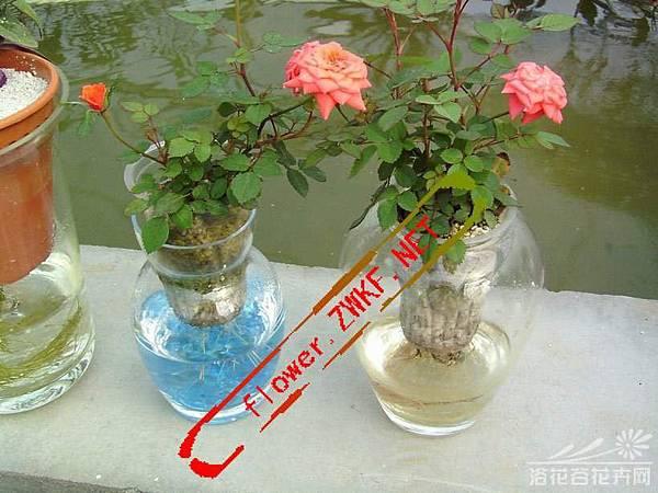 玫瑰薔薇水培方法 (1)(1)水插法適用於無根系的水培植物原材料。是指從母株上截取一段莖或枝條,將莖插入水中生根,從而形成新的水培植物的方法。水插法因原材料架構不同而分為兩類。
