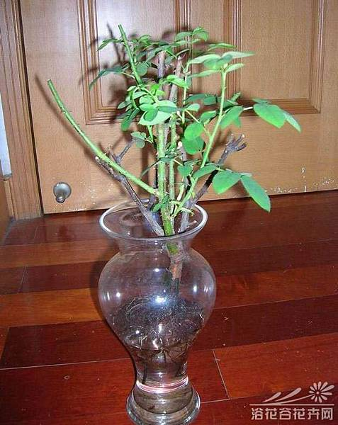 玫瑰薔薇水培方法 (3)(3)枝條插入水中的深度︰將消毒的枝條插入水中時,水以浸枝條插入水中的深度︰將截取得枝條插入水中時,水以浸沒枝條13~12為宜,浸入水中部位的葉片要摘除;有氣生根的要保留,並使其露在水面以上。