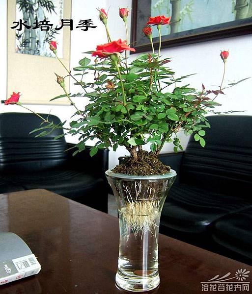 玫瑰薔薇水培方法 (2)(2)將枝條放入濃度為0.05%-0.1%的高錳酸鉀溶液消毒10分鐘,先用自來水誘導出新根。