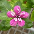 全世界第一個重瓣日日春系列品種3