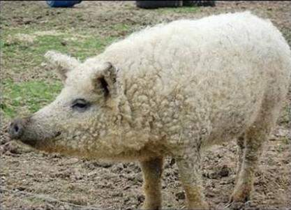 綿羊豬滅絕41年後再現 (1)
