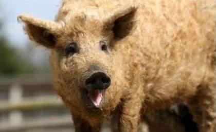 綿羊豬滅絕41年後再現 (6)