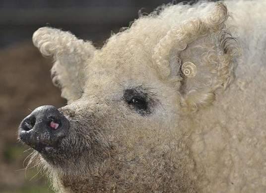 綿羊豬滅絕41年後再現 (0)