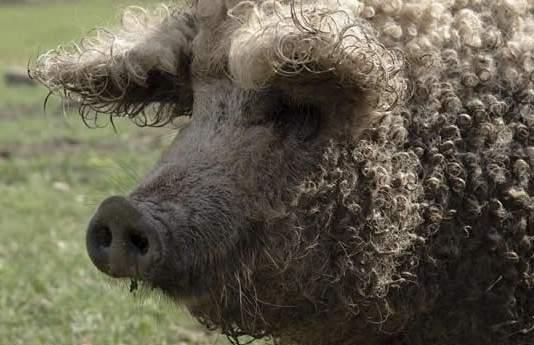 綿羊豬滅絕41年後再現 (9)