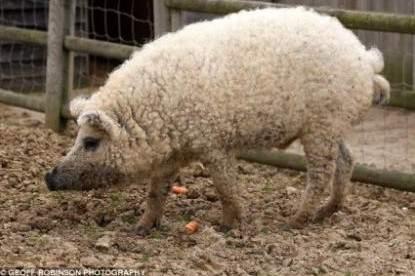 綿羊豬滅絕41年後再現 (2)