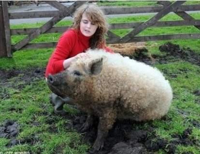 綿羊豬滅絕41年後再現 (5)