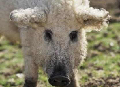 綿羊豬滅絕41年後再現 (3)