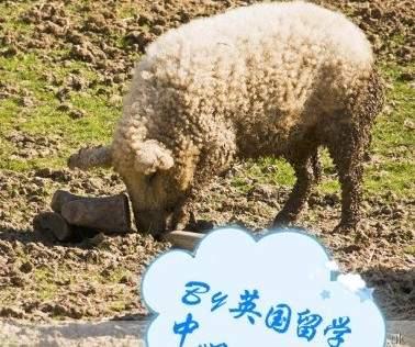 綿羊豬滅絕41年後再現 (8)