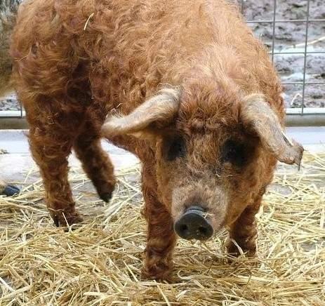綿羊豬滅絕41年後再現 (11)