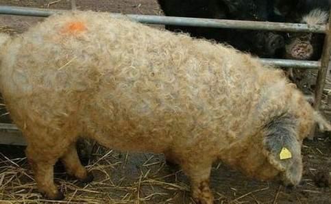 綿羊豬滅絕41年後再現 (12)