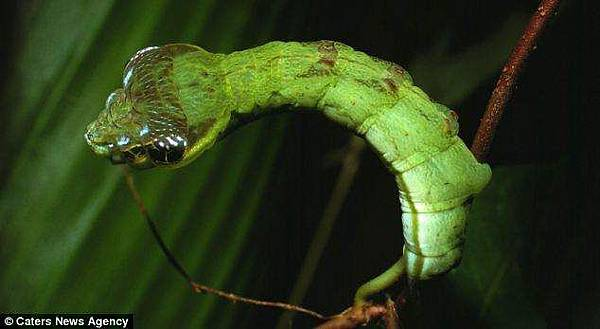 偽裝成蛇的毛毛蟲 (6)