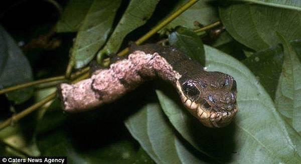 偽裝成蛇的毛毛蟲 (7)