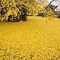 西安1400年銀杏樹 據傳是李世民種的 (5)