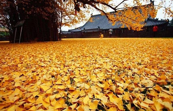 西安1400年銀杏樹 據傳是李世民種的 (4)