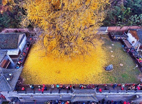 西安1400年銀杏樹 據傳是李世民種的 (3)