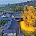 西安1400年銀杏樹 據傳是李世民種的 (1)
