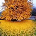 西安1400年銀杏樹 據傳是李世民種的 (2)
