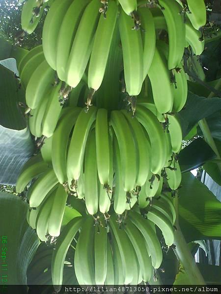 華山路旁的芭蕉,可以吃嗎?