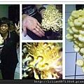 黃金菇採收