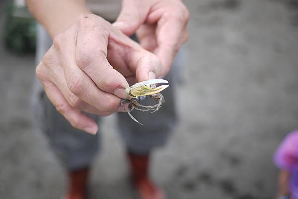 黃螯招潮蟹