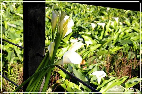 莉莉安的草山採花趣
