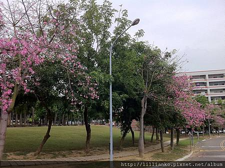 開著粉紅色花的樹