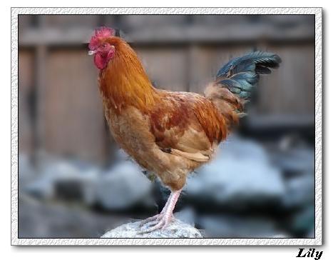 母雞.jpg
