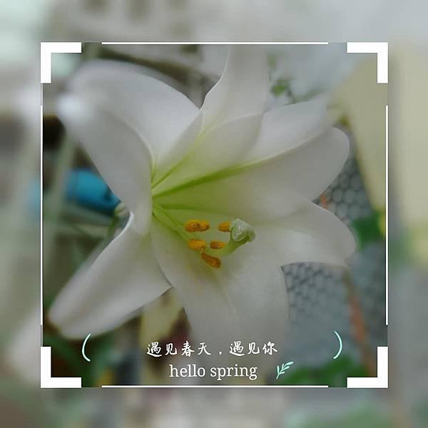 鐵砲百合02.jpg