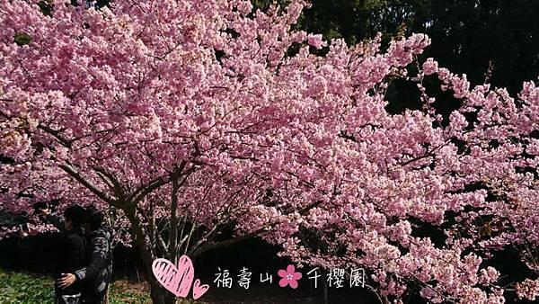 福壽山。千櫻園賞櫻_第38露31.jpg