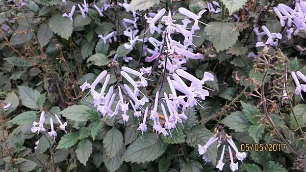 170505杉林溪的紫鳳凰花