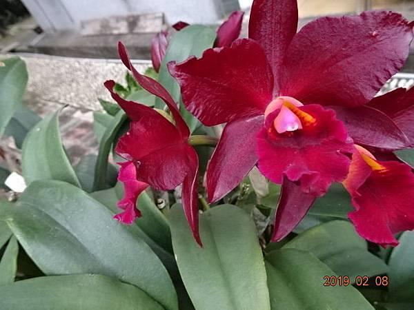 豔紫卡多利亞蘭