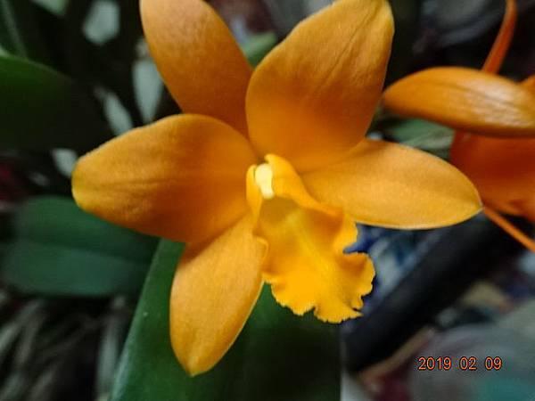 橙黃卡多利亞蘭(美華家的)