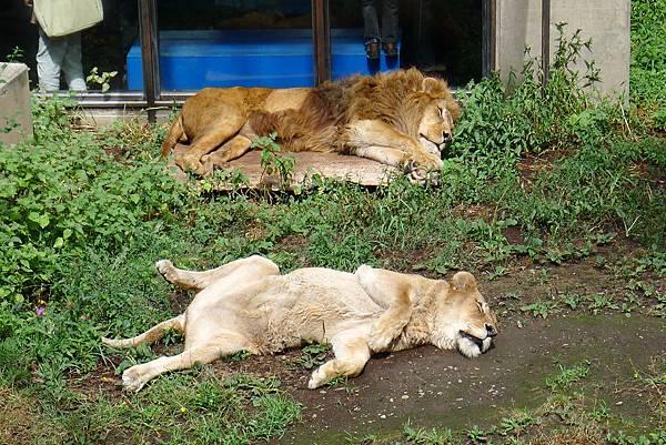 20130818獅子睡覺
