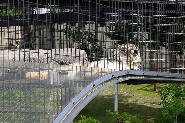 20130818雪豹睡覺