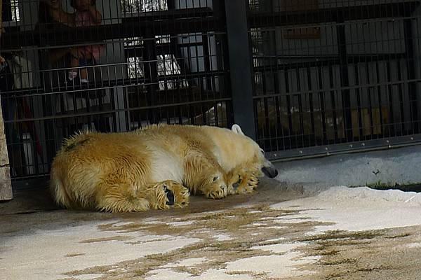 20130818北極熊睡覺