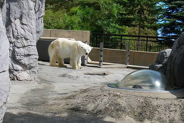 20130818北極熊看觀察孔