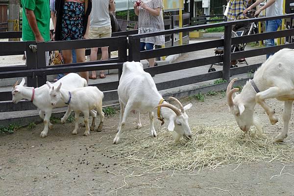 20130818可愛動物區小羊